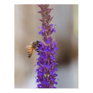 Honeybee on Salvia Postcard