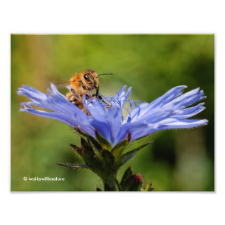 Honeybee on the Flowering Radicchio Art Photo