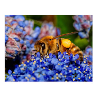 Honeybee Posing on the California Lilac Postcard