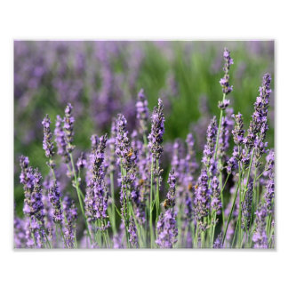 Honeybees on Lavender Flowers Photo Print
