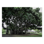 Honolulu Banyan Tree Print