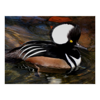 Hooded Merganser Bird Print