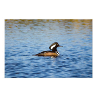 Hooded Merganser Drake Photo