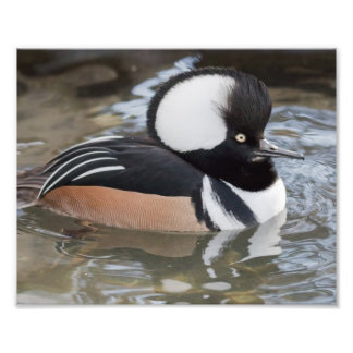 Hooded Merganser Photography Print