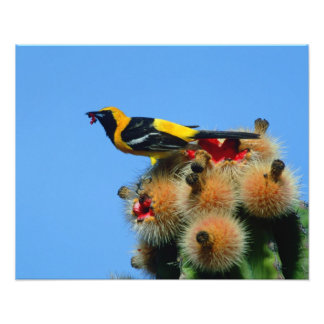 Hooded Oriole, male, eating cactus blossum Photographic Print