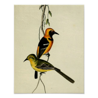 Hooded Oriole Posters