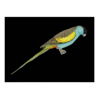 Hooded Parrot - Psephotus dissimilis Poster