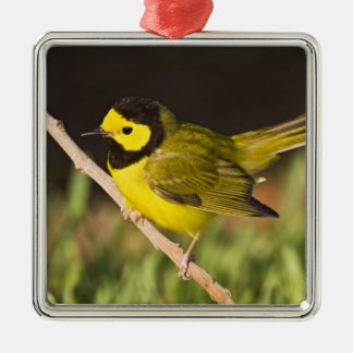 Hooded Warbler Wilsonia citrina) adult, male, Christmas Ornament