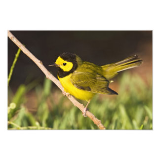 Hooded Warbler Wilsonia citrina) adult, male, Photo Print