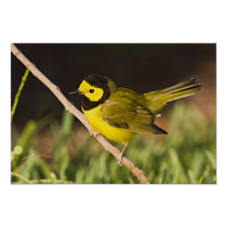 Hooded Warbler Wilsonia citrina) adult, male, Poster