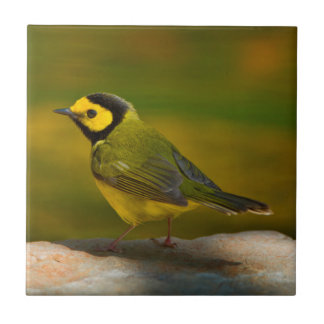 Hooded Warbler (Wilsonia Citrina) Adult Male Tile