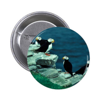 Horned Puffins on Puffin Island Pins