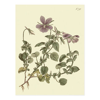 Horned Violet Botanical Illustration Postcard