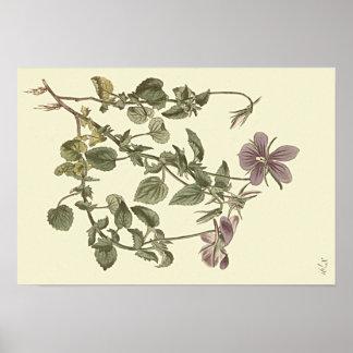Horned Violet Botanical Illustration Poster