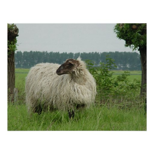Hornless sheep posters