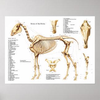 Horse Anatomy Skeleton Poster
