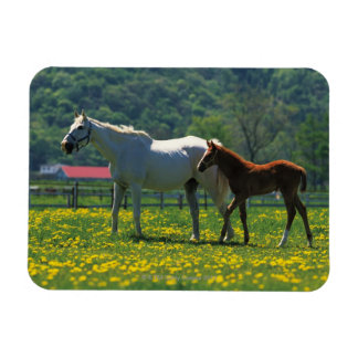 Horse and her foal standing in a field magnet