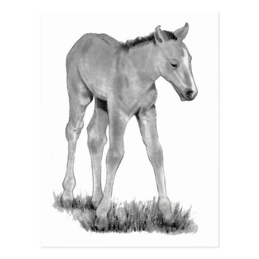 Horse: Baby Colt: Pencil Drawing Post Cards