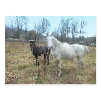 Horse & Colt Postcard