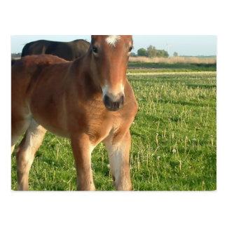 Horse Foal Postcard