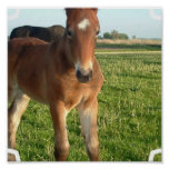 Horse Foal Poster Print