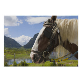 Horse, Gap of Dunloe, County Kerry, Ireland Poster