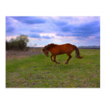 Horse Grazing in a field taken in spring Post Card