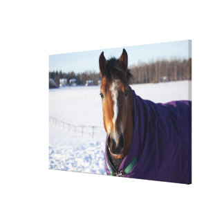 Horse grazing on a snow-covered field on Ekero 2 Canvas Print