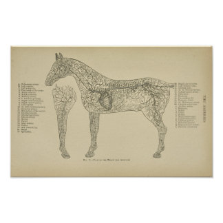 Horse Heart Arteries Anatomy Veterinary Print