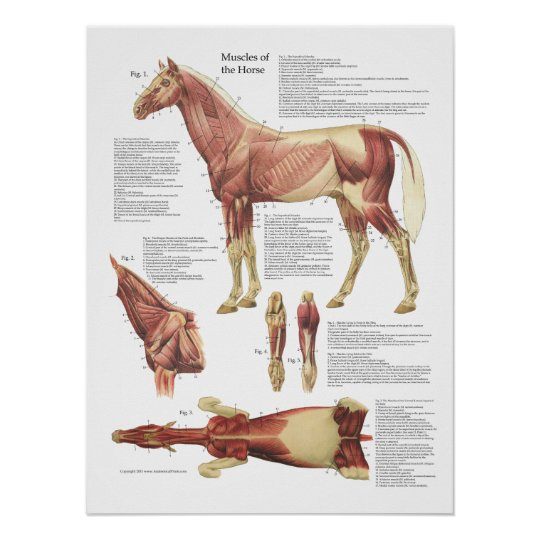 Horse Muscle Anatomy Veterinary Chart