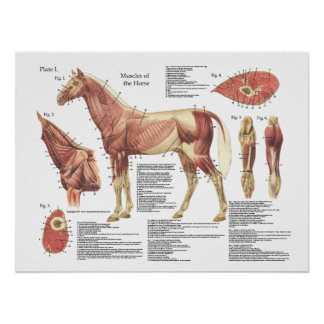 Horse Muscle Neck Shoulder Anatomy Chart Poster