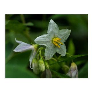 Horse Nettle White Wildflower Floral Postcard