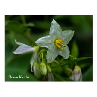 Horse Nettle White Wildflower Name Floral Postcard