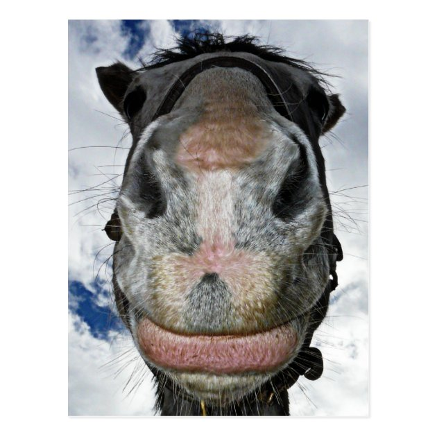 Horse Nose Knows Funny Smiling Horse Postcard Zazzle Co Uk