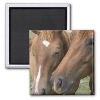 Horse Nuzzle Square Magnet Refrigerator Magnet