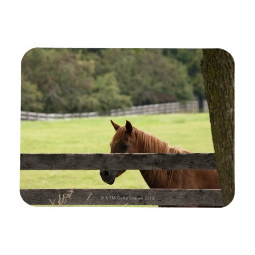 Horse on a farm relaxing by a tree rectangle magnets
