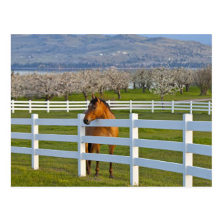 Horse poses by Flathead Cherry orchard near Postcard