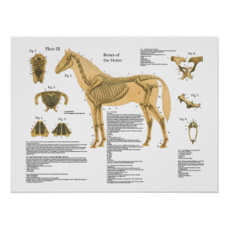 Horse Skeletal Anatomy Poster Chart