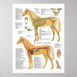 Horse Skeletal Arterial Anatomy Veterinary Chart Poster