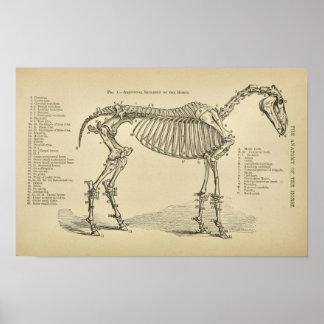 Horse Skeleton Anatomy Vintage Veterinary Print