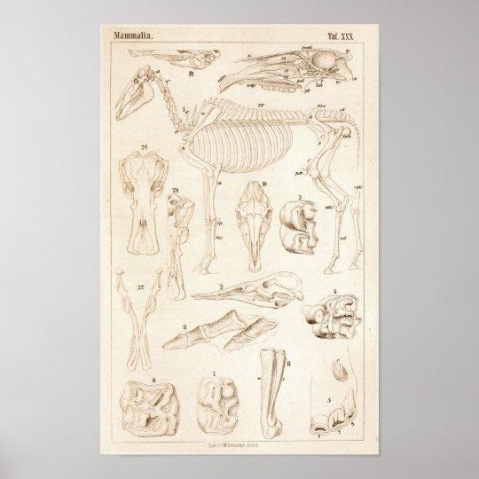 Horse Skeleton Veterinary Anatomy Print