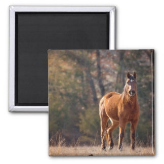 Horse standing in a field. square magnet