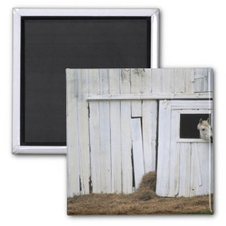 Horse Sticking Head out Barn Window Square Magnet