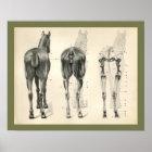 Horse Veterinary Skeletal Muscle Anatomy Print