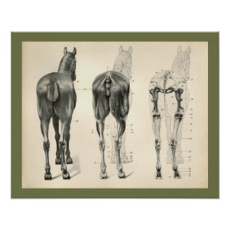 Horse Veterinary Skeletal Muscle Anatomy Print