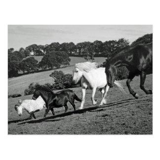 Horses At Play Post Cards