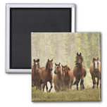 Horses cresting small hill during roundup, 2 square magnet