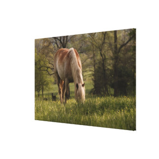 Horses grazing in meadow, Cades Cove, Great Canvas Print