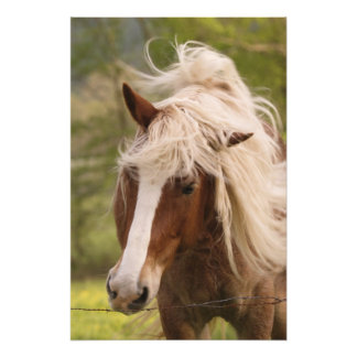 Horses grazing in meadow, Cades Cove, Great Photo Print