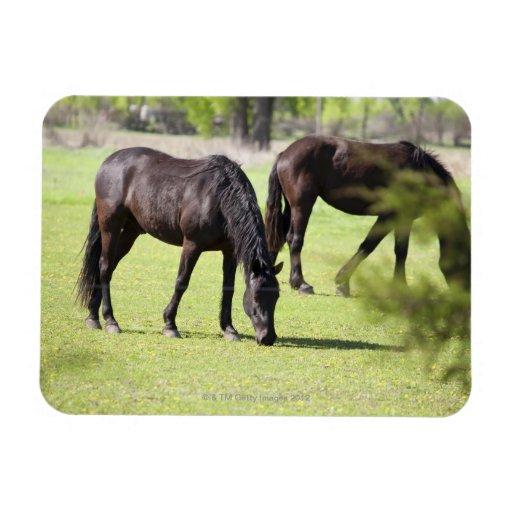 horses grazing on a horse farm magnet